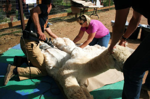 alpaca shearing preparation