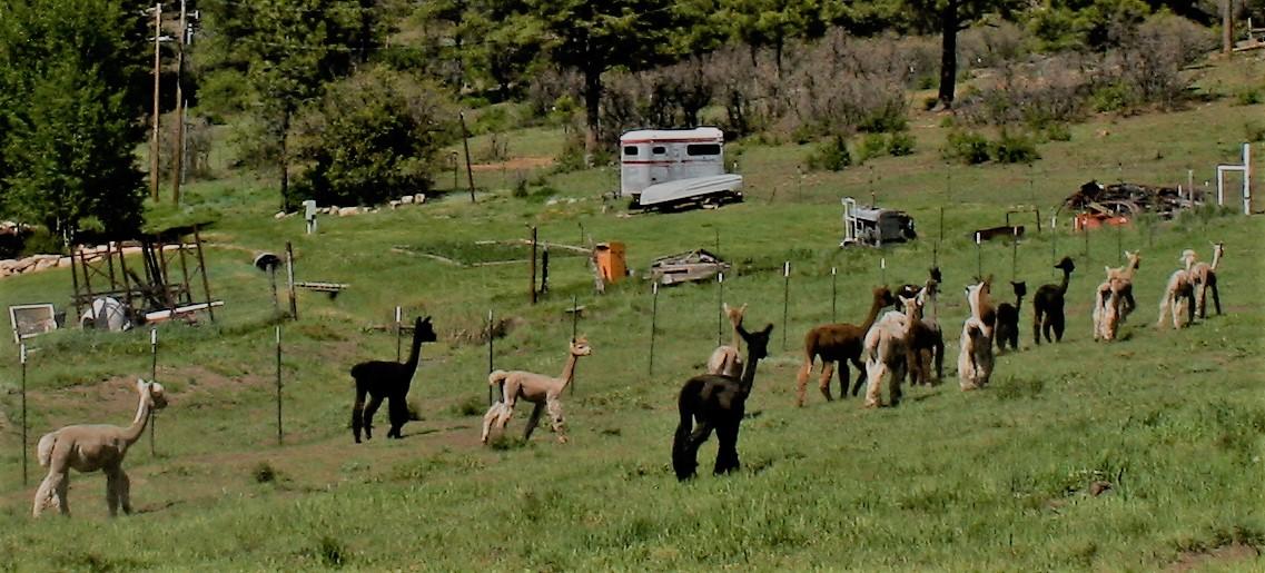 Shorn Herd